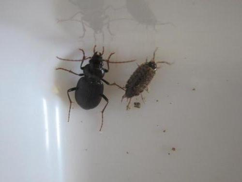 beetles 009